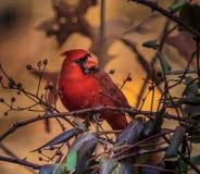 Оглушая кардинал мужчины стоковая фотография