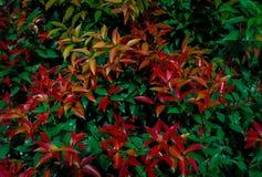 Огневые средства domestica Nandina Предпосылка Буша стоковые изображения