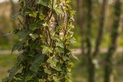 Огниво, северное Walses, деревья предусматриванные в плюще Стоковая Фотография RF