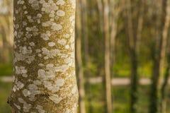 Огниво, северное Walses, деревья Стоковые Изображения RF