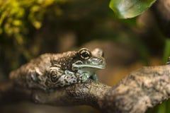 Огн-bellied жаба, Стоковые Фото