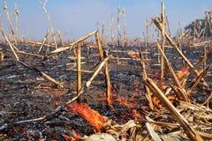 Огонь кукурузного поля - горя биомасса стоковая фотография rf