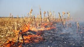 Огонь кукурузного поля - горя черенок стоковые изображения rf
