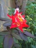 Огонь цвета цветка изменяя в саде стоковое фото rf
