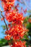 Огонь цветения цветка Пакистана Стоковые Фотографии RF