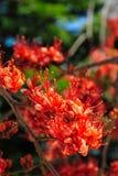 Огонь цветения цветка Пакистана Стоковое Изображение RF