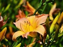 Огонь lilly в саде Стоковые Изображения