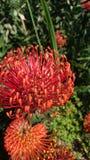 Огонь Protea стоковые изображения