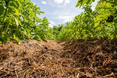 Огород, земледелие, кровати картошки стоковое фото
