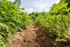 Огород, земледелие, кровати картошки стоковая фотография