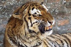 оголите близкого тигра зубов стороны s вверх стоковые изображения rf