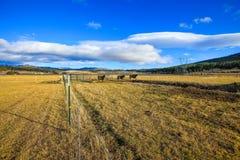 Ограженное поле фермы с коровами на выгоне стоковое изображение rf
