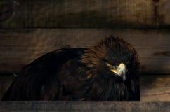Ограничение концепции свободы: Chrysaetos Аквилы беркута в плене Стоковое Фото