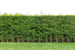 ограничьте загородку или стену листьев зеленого цвета изолированные на белой предпосылке стоковые изображения rf