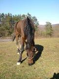 Оградите лошадь de casei полно--blooded пока пасите траву Стоковое Изображение RF