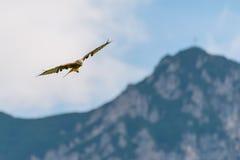 Огромная величественная красная птица змея летая высоко над горами Стоковые Фотографии RF
