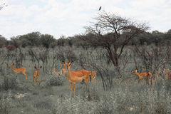 Огромная импала табуна семьи пася в поле в Etosha p Стоковые Изображения