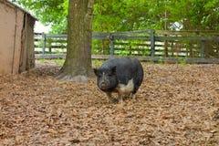 Огромная названная свинья lulubelle стоковое изображение rf