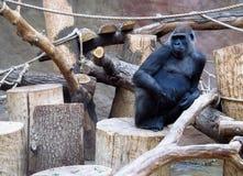 Огромная обезьяна гориллы сидя в зоопарке Стоковые Изображения RF