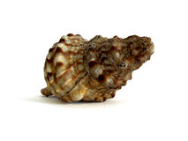 огромная раковина моря Стоковое Изображение RF