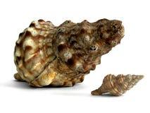 огромная раковина моря Стоковая Фотография RF