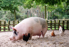 огромная свинья Стоковые Изображения