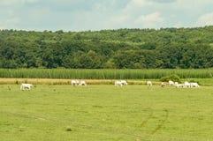 Огромная ширь зеленых полей при скотины пася на ей Стоковое Изображение