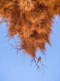 Огромное гнездо птицы ткача в Намибии, Африке Стоковые Фото