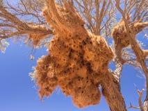 Огромное гнездо птицы ткача в Намибии, Африке Стоковая Фотография RF