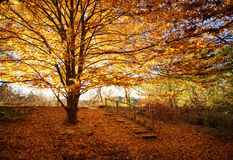 Огромное дерево с оранжевыми листьями Стоковые Изображения