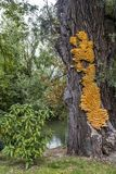 Огромное желтое sulphureus Laetiporus грибка кронштейна на дереве Стоковое фото RF