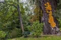 Огромное желтое sulphureus Laetiporus грибка кронштейна на дереве Стоковое Изображение