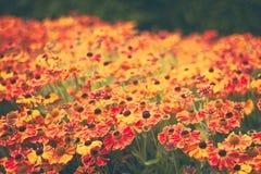 Огромное количество оранжевых цветков в поле стоковые изображения rf