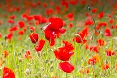 Огромное поле красных цветков маков Стоковое Изображение