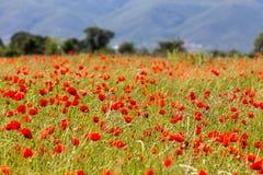 Огромное поле красных цветков маков Стоковая Фотография RF