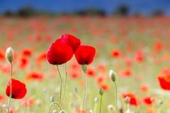 Огромное поле красных цветков маков Стоковое фото RF