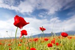 Огромное поле красных цветков маков Стоковые Фото