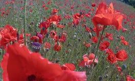 Огромное поле красных цветков маков Sun и облака Осмотрите много из маков и конца-вверх Стоковое Изображение