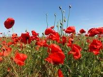 Огромное поле красных цветков маков Sun и облака Осмотрите много из маков и конца-вверх Стоковое Изображение RF