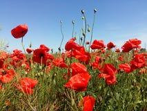 Огромное поле красных цветков маков Sun и облака Осмотрите много из маков и конца-вверх Стоковые Изображения RF