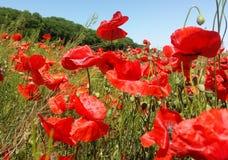 Огромное поле красных цветков маков Sun и облака Осмотрите много из маков и конца-вверх Стоковое фото RF