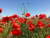 Огромное поле красных цветков маков Sun и облака Осмотрите много из маков и конца-вверх Стоковое Фото