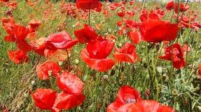 Огромное поле красных цветков маков Sun и облака Осмотрите много из маков и конца-вверх Стоковые Фотографии RF