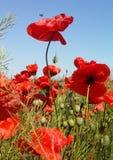 Огромное поле красных цветков маков Sun и облака Осмотрите много из маков и конца-вверх Стоковые Изображения