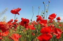 Огромное поле красных цветков маков Sun и облака Осмотрите много из маков и конца-вверх Стоковая Фотография