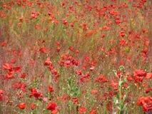 Огромное поле красных цветков маков Sun и облака Осмотрите много из маков и конца-вверх Стоковые Фото