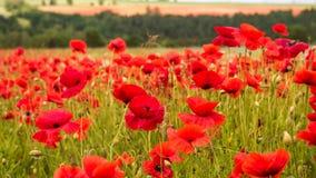 Огромное поле blossoming маков Деревенский ландшафт лета, предпосылка Стоковые Фотографии RF