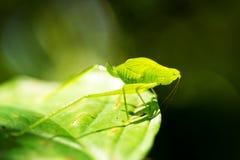 огромное сверчка зеленое Стоковое Фото