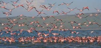 Огромное стадо фламинго принимая  Кения вышесказанного Национальный парк Nakuru Национальный заповедник Bogoria озера стоковые изображения rf