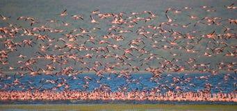 Огромное стадо фламинго принимая  Кения вышесказанного Национальный парк Nakuru Национальный заповедник Bogoria озера стоковая фотография